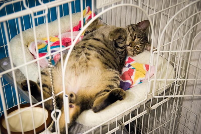 猫も夏ポーズに衣替え中。お腹が暑いんです、きっと